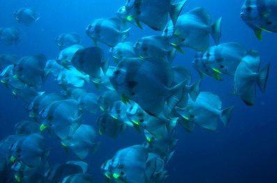 Batfish - Cheval Blanc Randheli